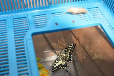 アゲハ蝶 きれいに生まれました。